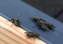Cluster Flies_edited