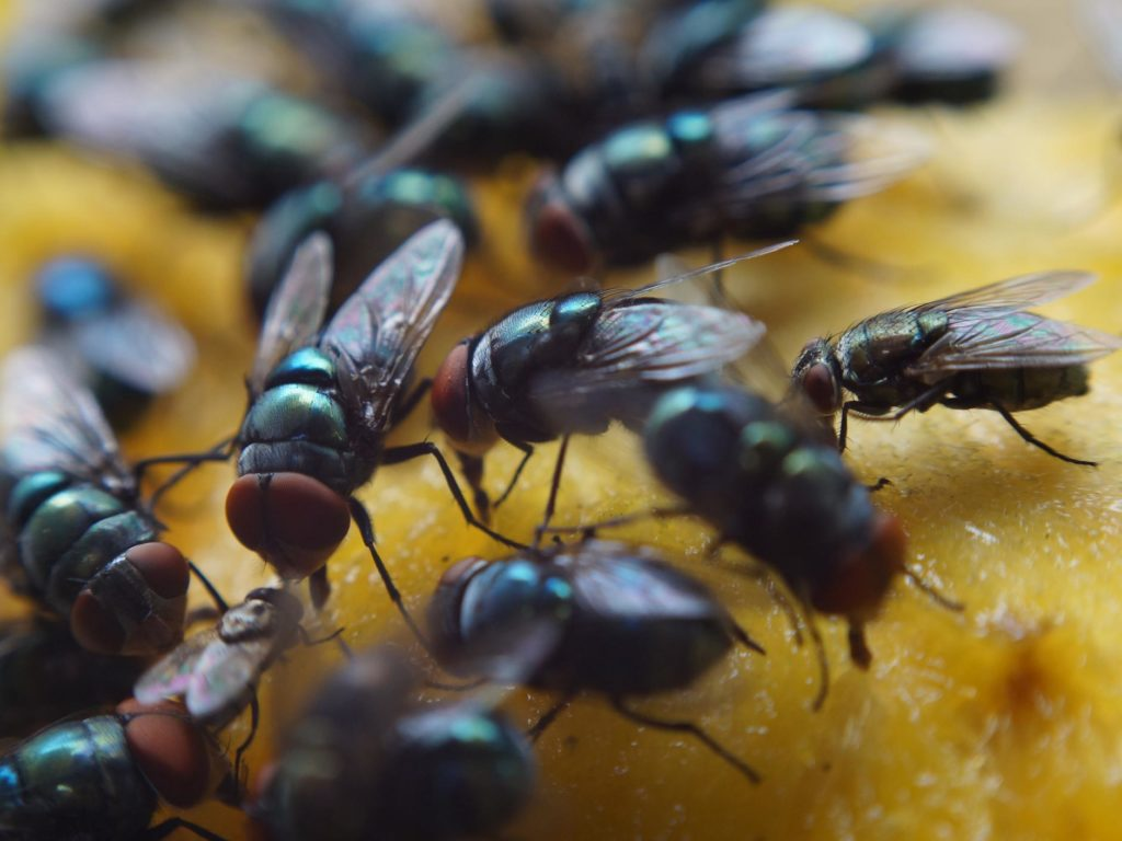 Fly Control - Local Pest Control