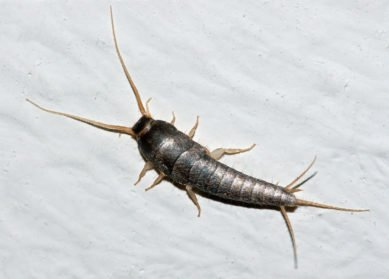 Silverfish - Pest Control