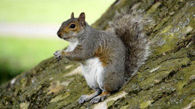 Grey Squirrel Control - Landguard Pest Control