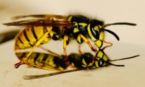 Wasp Removal - Pest Control