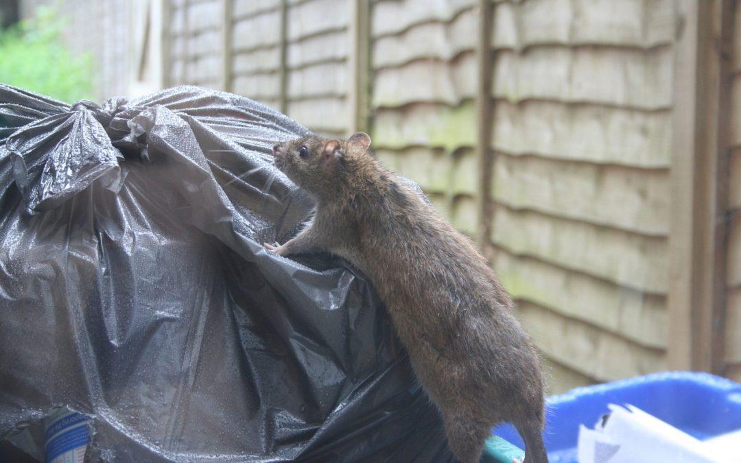 Rat Control - Otley, Ilkley, Harrogate and Leeds.