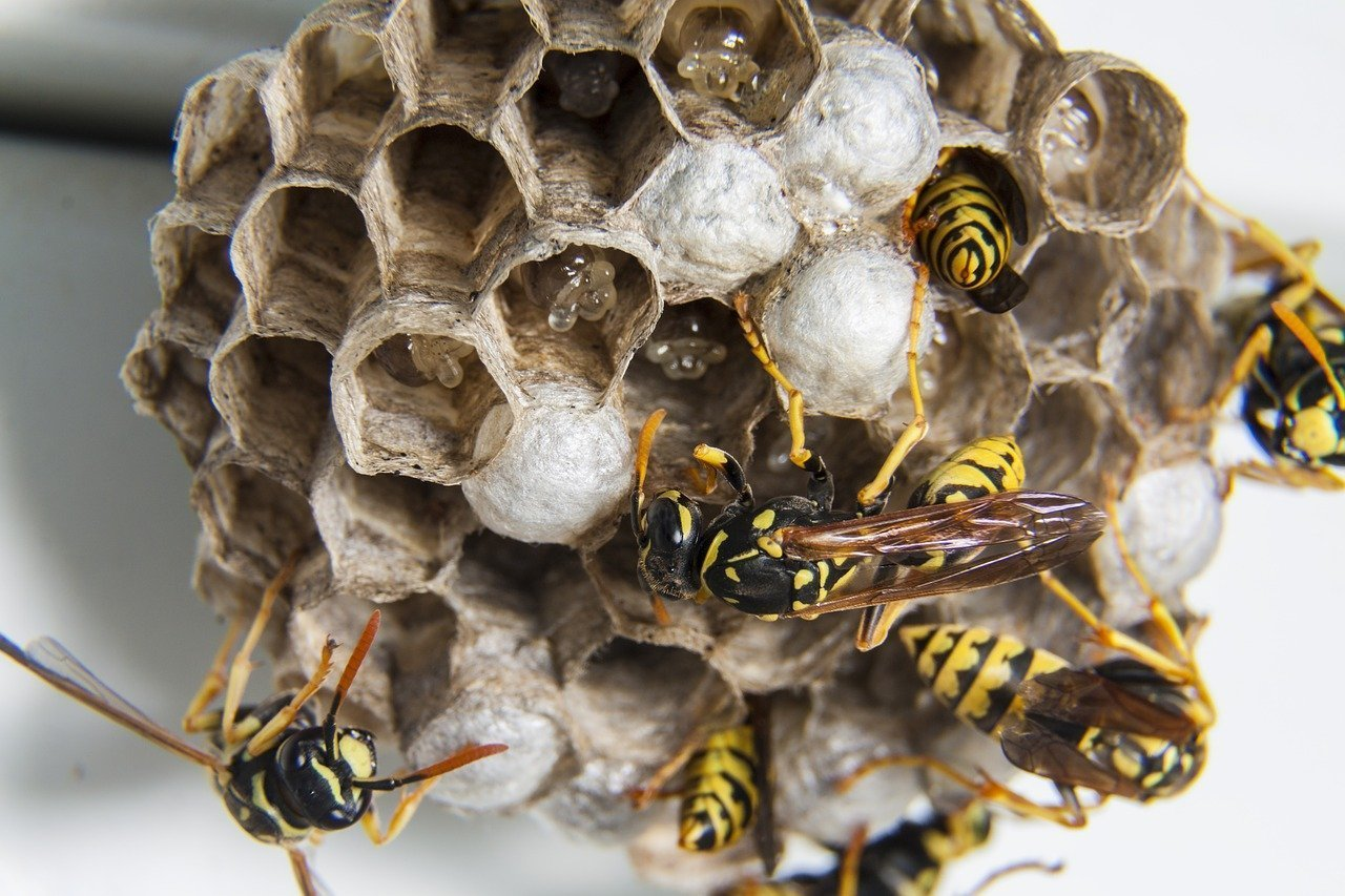 Local wasp control & removal