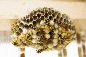 Wasp Nest - Pest Control