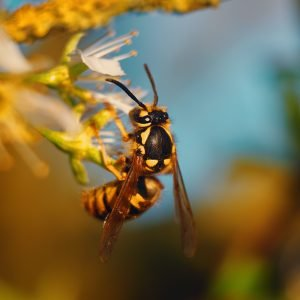 Wasps - Wasp removal