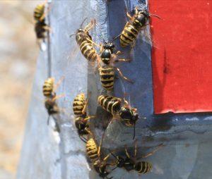 Wasps - Wasp Nests