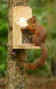 Red Squirrels Yorkshire