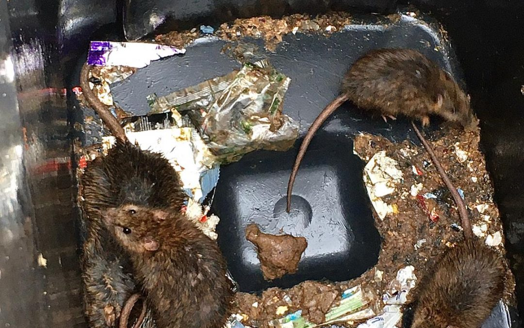 Rubbish Rodents