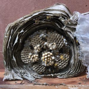 Wasps - Landguard Pest Control - Otley